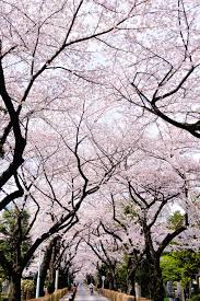 cherry blossoms images 21 of the most beautiful japanese cherry blossom photos of 2014