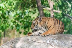 leg tiger stock photo image of feline habitat 53774258