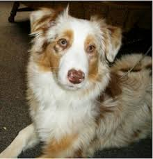 australian shepherd 2 noses lost and found u2013 aussie rescue socal