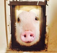 pet pig education blog to love a pig
