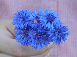 bachelor buttons blue boy bachelor button baker creek heirloom seeds