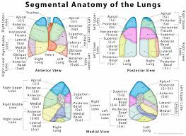 location si e b anatomy of lung gross the lungs eb on normal p geoface annahamilton me