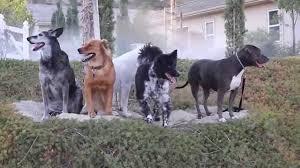 belgian shepherd golden retriever mix dog training los angeles pit bull u0026 golden retriever mix being