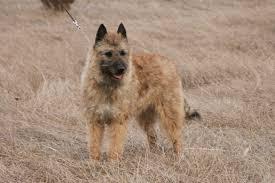 belgian sheepdog for sale uk dog breeds that start with u0027b u0027 pets world