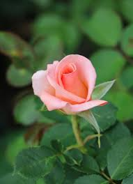 photo of the bloom of rose rosa u0027royal city rose u0027 posted by