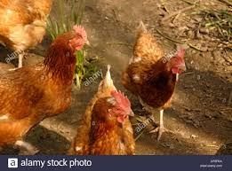 close up of three rhode island red chickens in a free range sunny