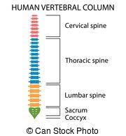 Human Vertebral Column Anatomy Eps Vector Of Anatomy Vertebral Column Illustrated Human Section