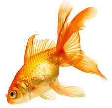 pictures of goldfish shutterstock 70361200 gold fish