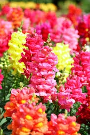 snapdragon flowers snapdragon information from flowers org uk