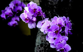 purple orchids purple orchid wallpaper