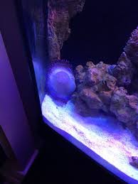 Fluval Sea Marine And Reef Led Strip Lights by Help With My Bubble Tip Anemone Reef2reef Saltwater And Reef
