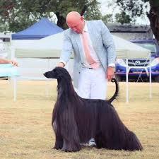 afghan hound racing uk afghan hound tea with luscious long locks named u0027prettiest dog in