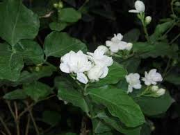 Which Jasmine Plant Is Most Fragrant - jasmine plants fragrant vines for the house and garden