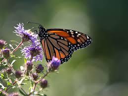 capt mondo u0027s blog blog archive monarch butterfly on purple flower