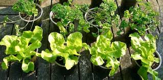 vegetables you can grow in pots top 10