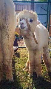 Alpaca Sheep Meme - our story baby llama baby alpaca and alpacas