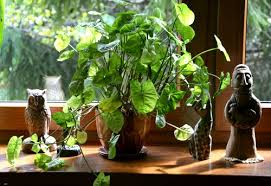 do houseplants increase oxygen levels garden myths