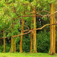 rainbow eucalyptus gagdaily news