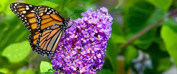 Fertilizer For Flowering Shrubs - 5 flowering shrubs for summertime blooms