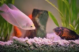 Buy Ornamental Fish How Many Fish Will My Aquarium Hold