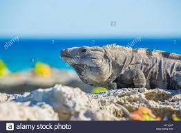 iguana island island iguanas in wildlife cancun mexico beach stock photo