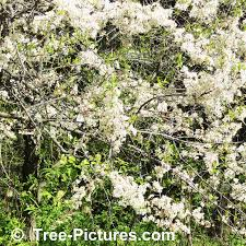 plum tree pictures images photos facts on plums
