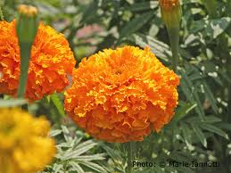 Plants That Repel Aphids by Are Marigolds Fooling Us