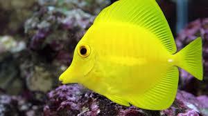 tang tag wallpapers ocean fish underwater tropical tang sea tanks