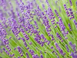pruning lavender promoting flowering and