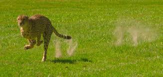 White Oak File Cheetah Run At White Oak Jpg Wikimedia Commons