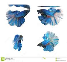 betta fishes siamese fighting fish isolated on white background
