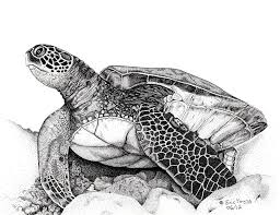 drawn sea turtle hawaii turtle pencil and in color drawn sea