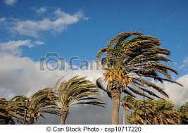 palm tree blowing in the wind tenerife canary islands spain stock