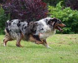 australian shepherd herding sheep what to do about dog biting and nipping due to herding