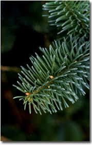 wholesale noble fir trees