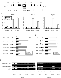 hypoxia inducible factor 1 hif 1 promotes ldl and vldl uptake