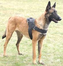 belgian shepherd or malinois belgian malinois nylon multi purpose dog harness h6 1057