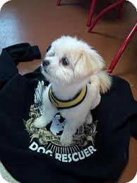 bichon frise dogs for adoption lolly adopted dog santa rosa ca bichon frise pomeranian mix