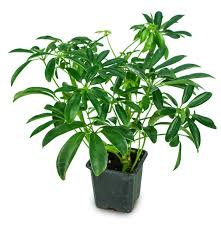schefflera arboricola mini green umbrella tree josh s