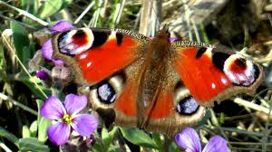 garden documentary peacock colour flower butterfly in the