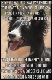 Border Collie Meme - 514 best border collie art images on pinterest border collies