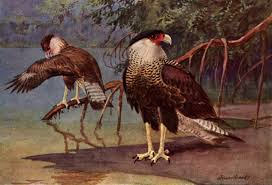 nature observations and meanings crested caracara mexican eagle