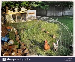two chickens in backyard chicken coop stock photo royalty free