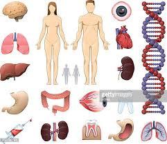 Cartoon Human Anatomy Human Internal Organ Stock Illustrations And Cartoons Getty Images