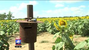 Grinter Farms Blooming Sunflowers Decorate Kansas Countryside With Sunshine