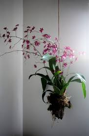 garden display ideas best 25 hanging orchid ideas on pinterest indoor orchids