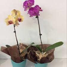 orchid plants small orchid plant a touch of class florist