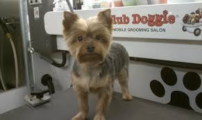 teacup yorkie haircuts pictures club doggie mobile grooming salon photo gallery