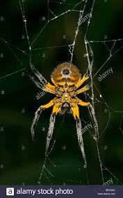 amazon basin large orb weaver spider in the amazon basin in peru stock photo