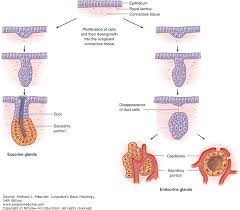 What Organelles Are Found In Epithelial Cells Epithelial Tissue Junqueira U0027s Basic Histology 14e